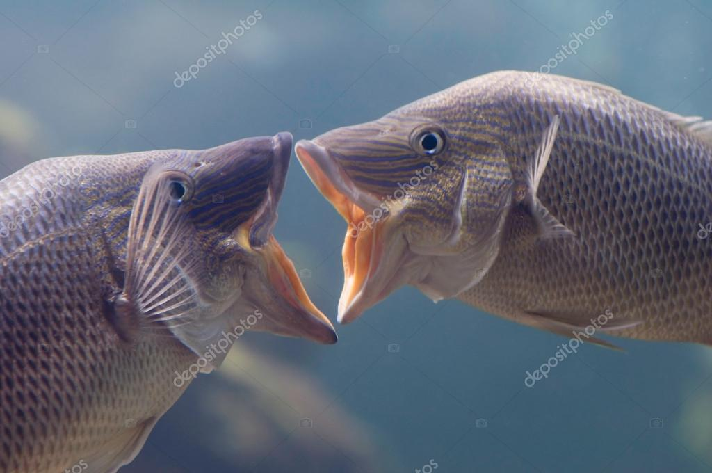 Two fish with open mouths