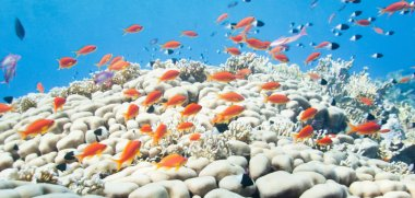 school of anthias over coral formation