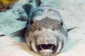 Fényképek víz alatti blaskspotted gömbhal