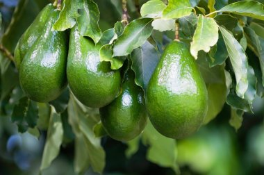 green avocados fruit growing on branch