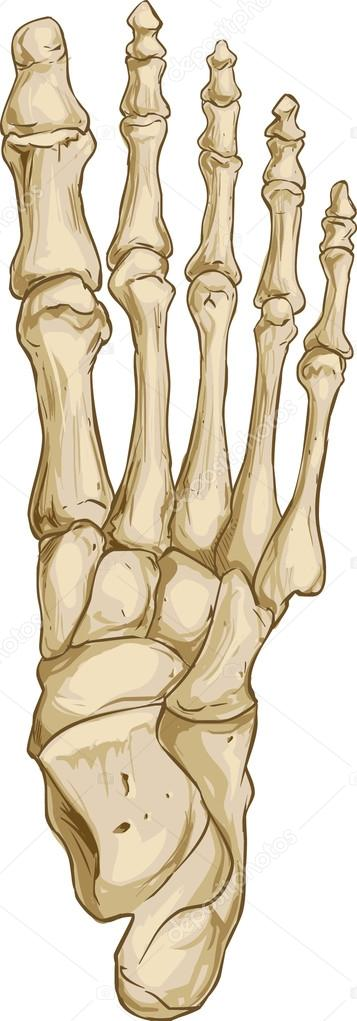 foot bone anatomy — Stock Vector © corbacserdar.gmail.com #95102250