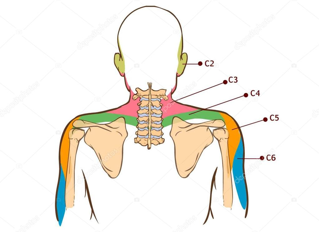 Músculo elevador de la escápula - tablero didáctico de anatomía del ...