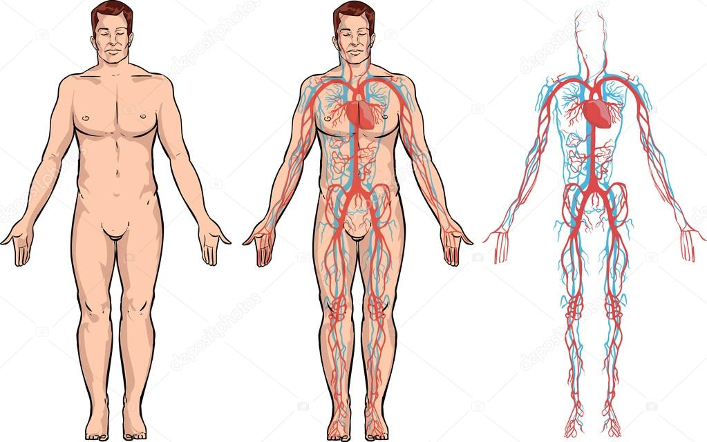 Vektor-Illustration eines Herz-Kreislauf-Systems — Stockvektor ...