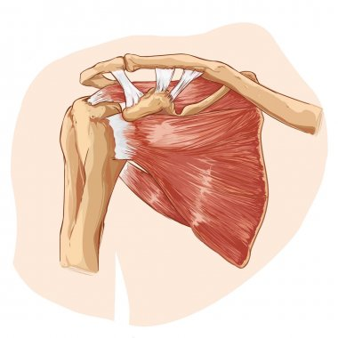 vector illustration of a shoulder anatomy
