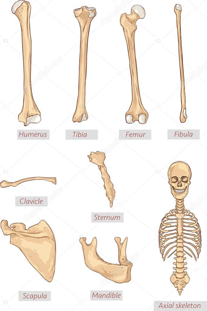 húmero, tibia, fémur, peroné, clavícula, esternón, escápula ...