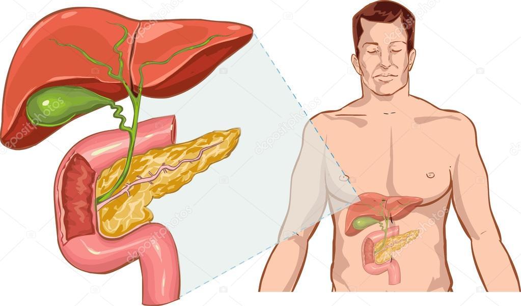 Vector ilustración de una anatomía del hígado — Vector de stock ...