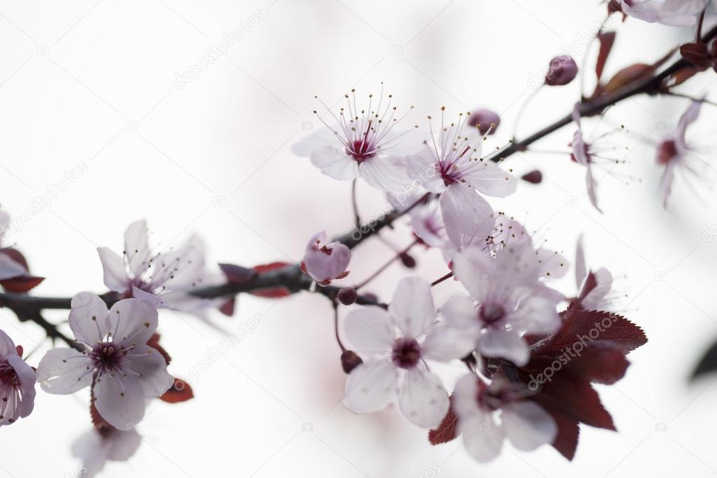 focus on cherry blossoms for zen purity and springtime