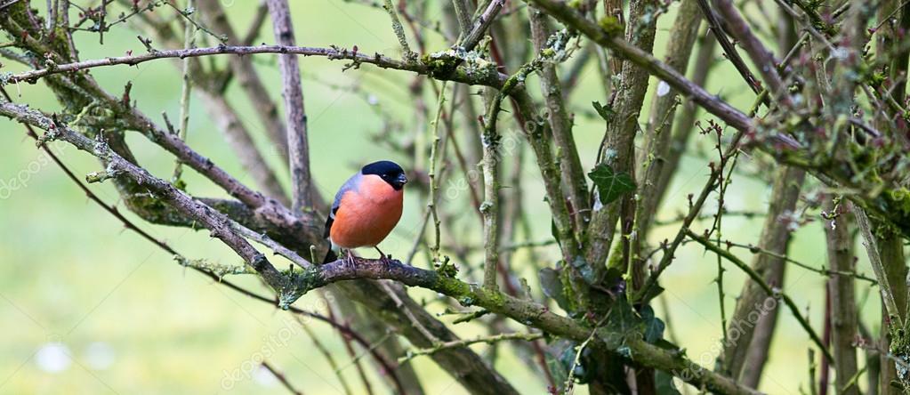 Μεγάλο παχύ πουλί φωτογραφίες