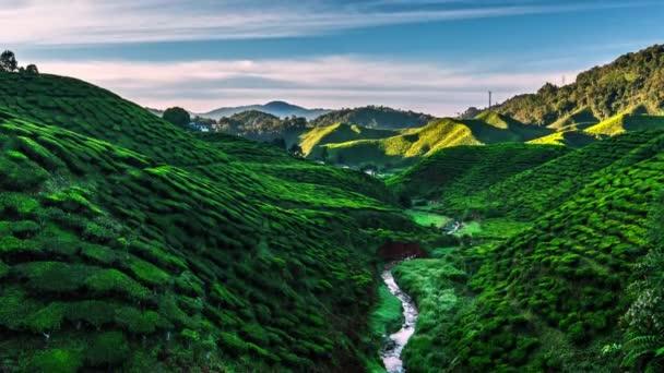 Piantagione di tè a Cameron Highlands allalba