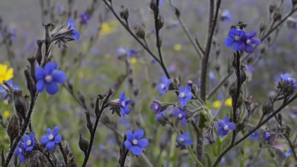 Bugloss blue and yellow daisies
