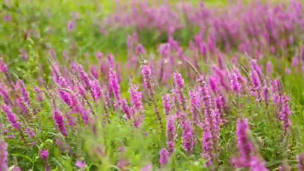 Luční květiny, jarní louka s květy. Ukrajinské stepi s lila květy