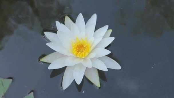 Krásné bílé vody lily květina