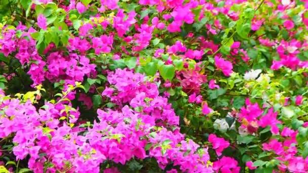 Lila Bougainvillea virág