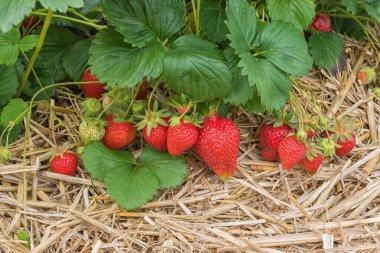 Strawberries in the foreground. Strawberry field in Germany. Growing organic berries. Diet Vegetarian food