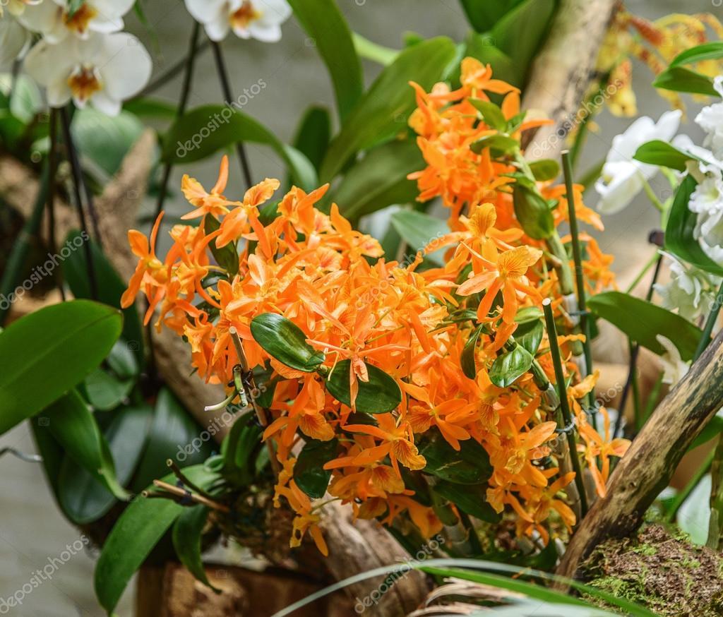 populaire decoratieve huis orchidee dendrobium nobile firebird stockfoto. Black Bedroom Furniture Sets. Home Design Ideas