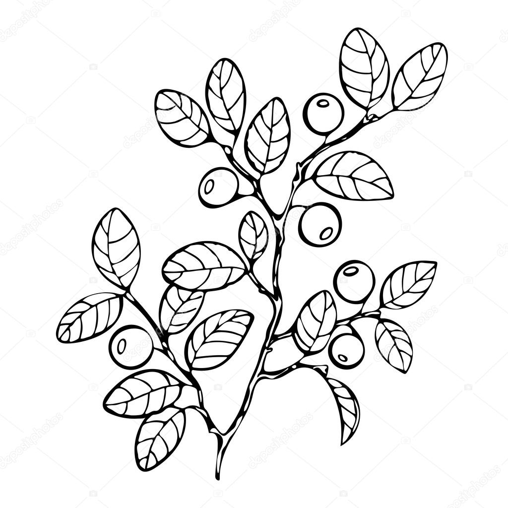 Blueberry Branch Drawing