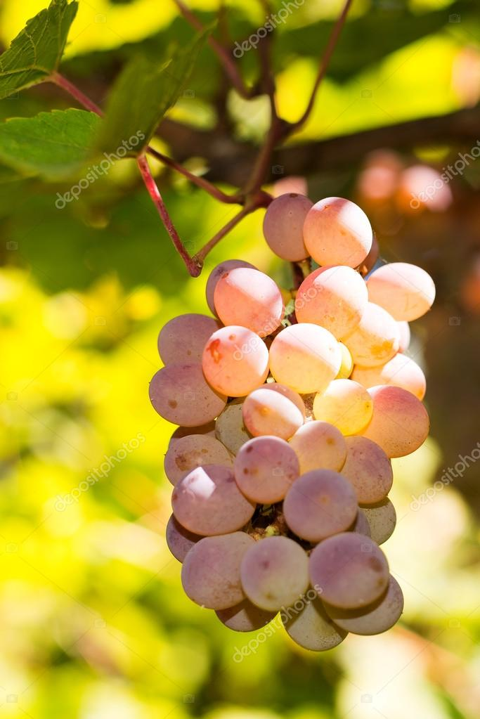 Vineyards at sunset in autumn harvest. Ripe grapes in fall. Juicy, ripe bunch of grapes in the foliage. Grape harvest. Care, pruning, pests and diseases of grapes. Tips winemakers.