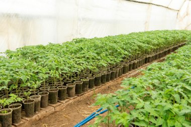 Tomato plants and cucumber plants  in vegetable greenhouses. Tomato seedling before planting into the soil, greenhouse plants, drip irrigation, greenhouse cultivation of tomatoes in agriculture