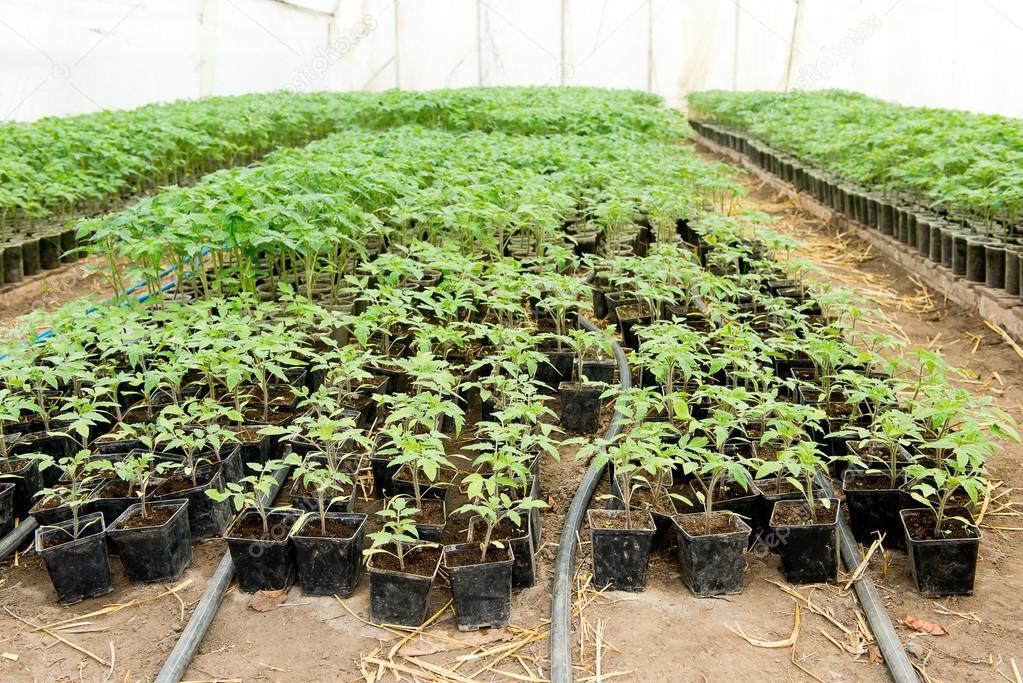 Tomaten Samling Vor Dem Einpflanzen In Den Boden Gewachshaus