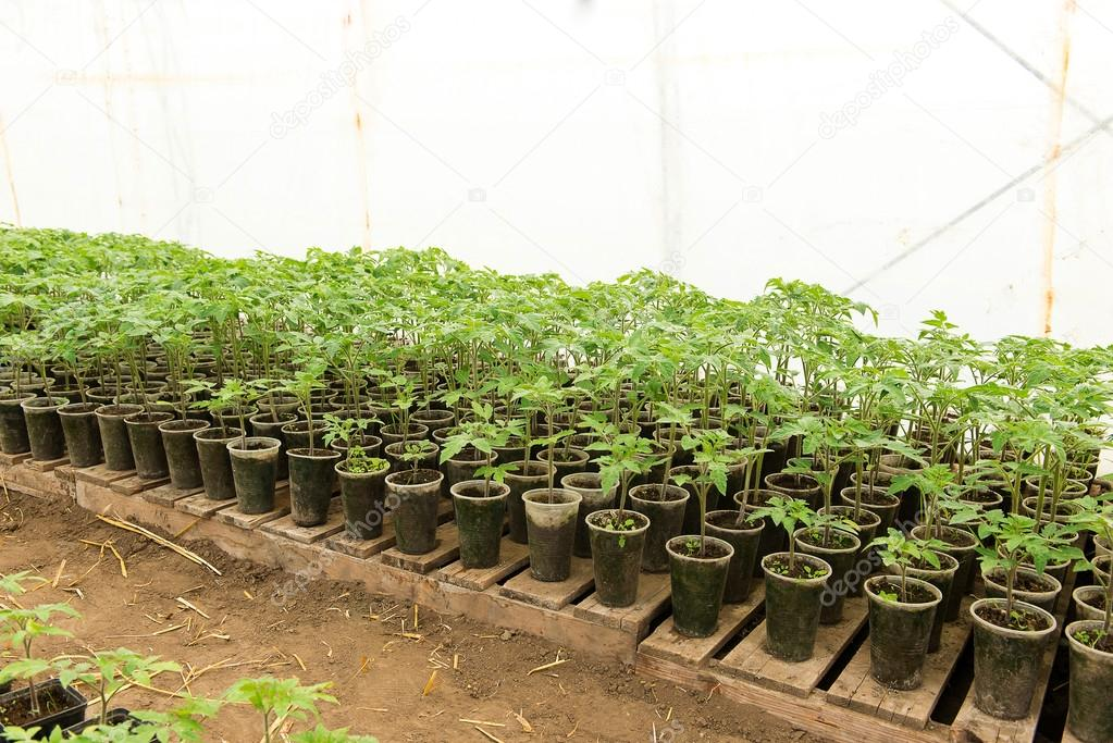 tomato seedling before planting into the soil greenhouse plants drip irrigation greenhouse. Black Bedroom Furniture Sets. Home Design Ideas