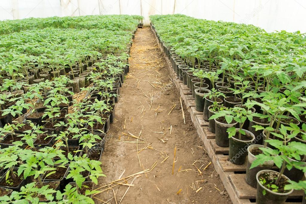 Pl ntula de tomate antes de plantar en el suelo las Plantas de invernadero