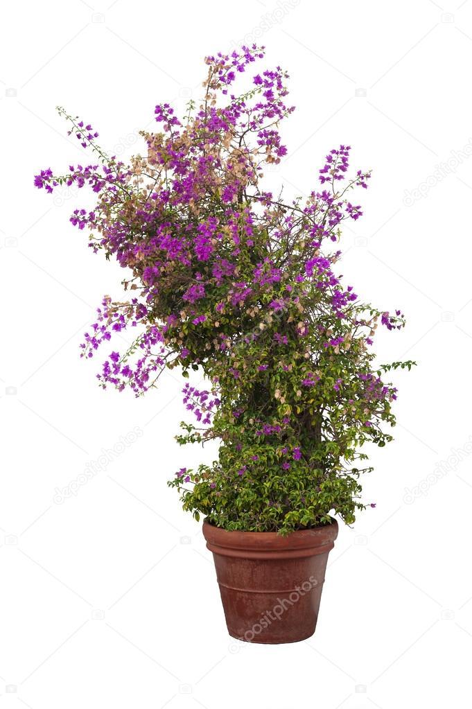 Bugambilias planta sobre fondo blanco foto de stock for Pianta bouganville