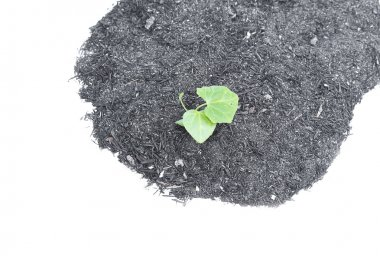 small green seedling  Ivy Gourd