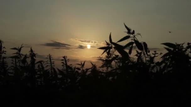 Kopřivy siluety při západu slunce