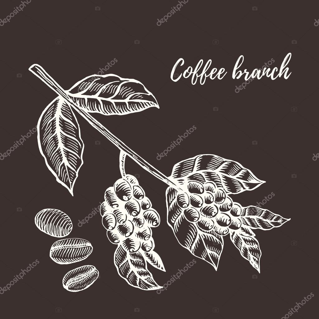 Coffee branch with berry. Hand drawn vector illustration.