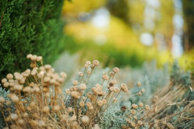 Dry flowers in the rays of sunset in a small park provence-style