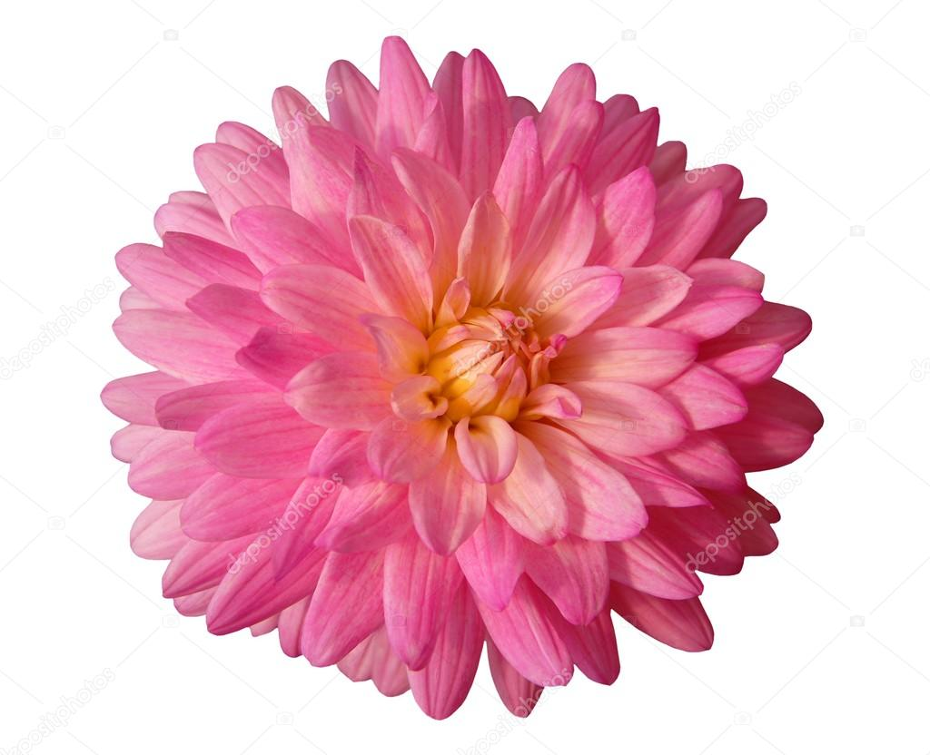 Pink Dahlia Flower Isolated On White Background Stock Photo