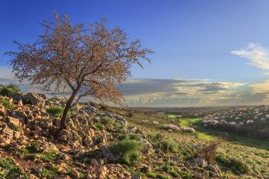 """Картина, постер, плакат, фотообои """"сприниме. национальный парк альта мурджа: дикое миндальное дерево в цвету на рассвете. апулия-италия-весна холмистый пейзаж: миндальный рассвет одинокий цветок ."""", артикул 101631570"""