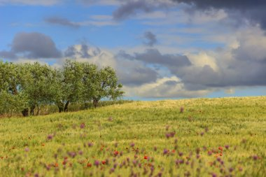 RURAL LANDSCAPE SPRING. Between Apulia and Basilicata:olive grove in the cornfield with poppies.ITALY