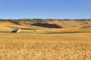 Summer: rural landscape. Between Puglia and Basilicata:hills with cornfields and farmhouses.ITALY