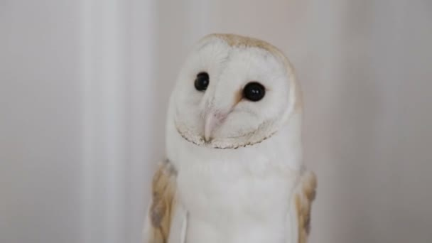 owl barn owl on photography
