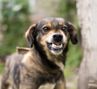 Aggressive, angry dog