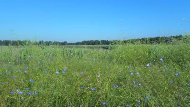 Field of Linseed or Flax in flower (Linum usitatissimum)
