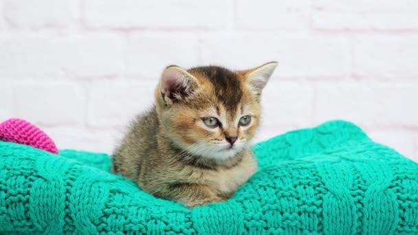 roztomilé kotě skotské zlaté chinchilla rovné plemeno, kočka usne sedí