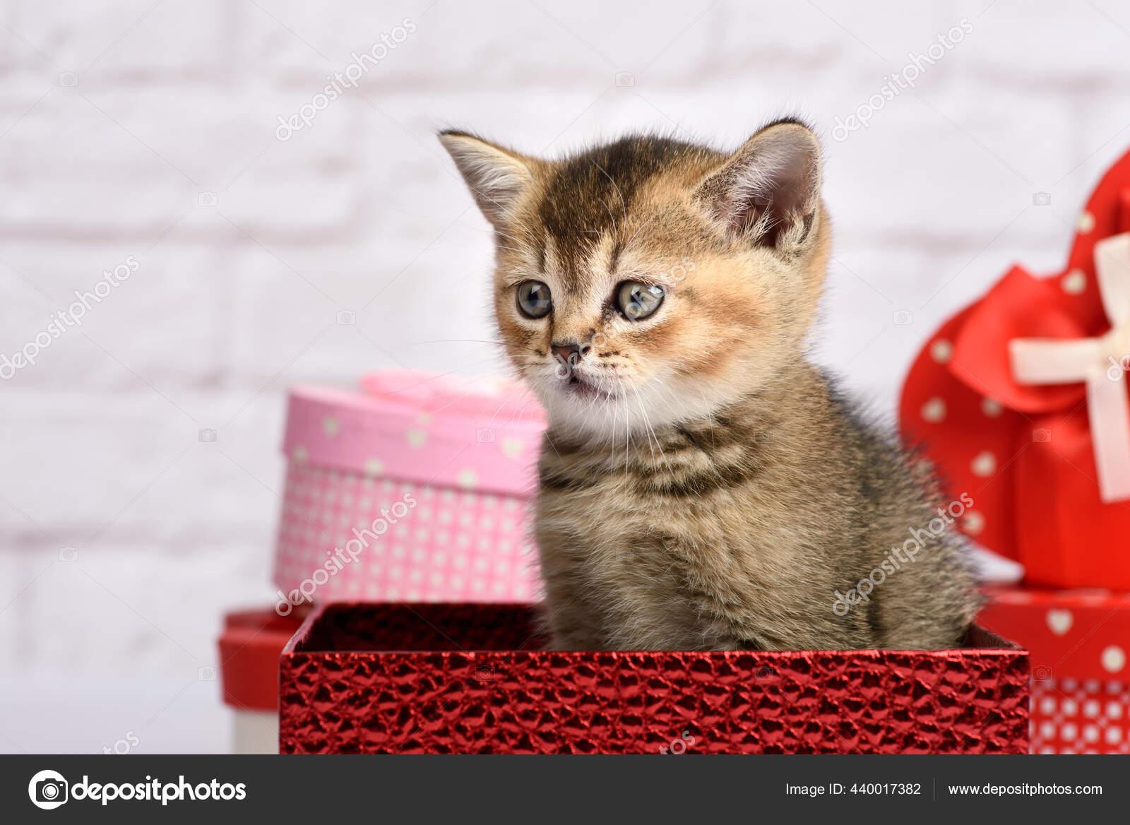 Kucing Lucu Dari Jenis Chinchilla Emas Skotlandia Lurus Duduk ...