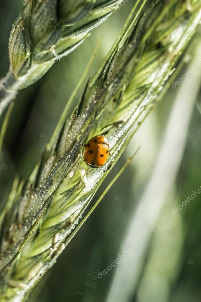 ladybug, spike in the dew