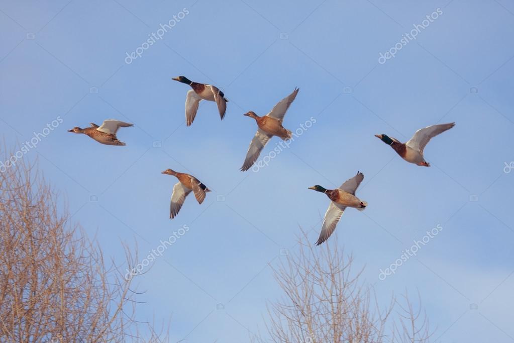 Six flying ducks
