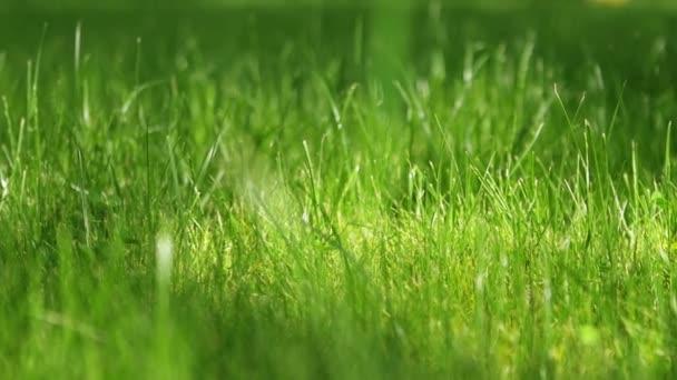 Rasenrasen an einem sonnigen Nachmittag