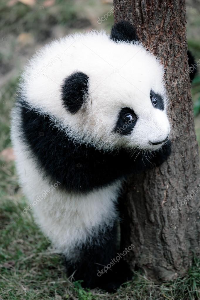 mignon petit panda photographie 97964150. Black Bedroom Furniture Sets. Home Design Ideas