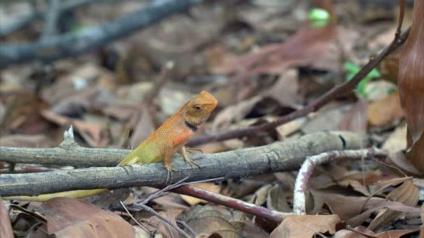 Calotes garden lizard (Agama) in forest in Thailand - 4k CLIP 2