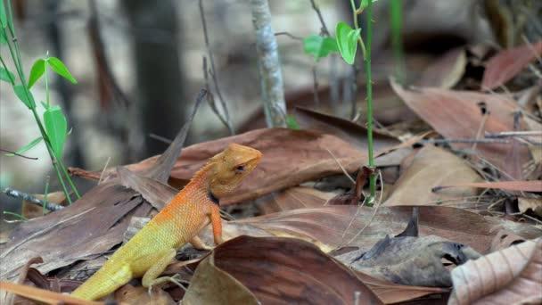 Calotes garden lizard (Agama) in forest in Thailand - 4k CLIP 1