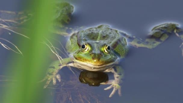 essbarer Frosch / gemeiner Wasserfrosch, der in die Kamera schaut - Nahaufnahme Vorderseite 4k
