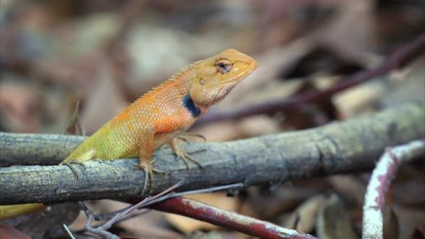 Cinemagraph - Calotes garden lizard (Agama) in Thailand - 4k Loop
