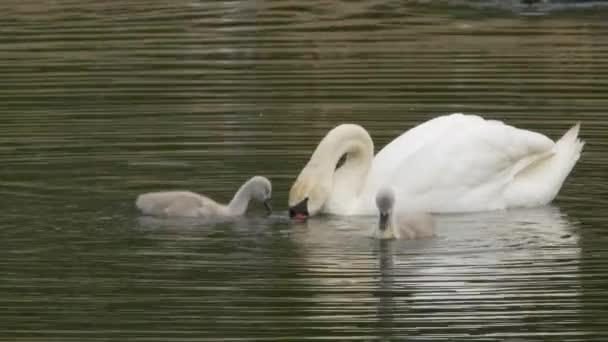 Labuť matka s Baby kuřata plavání v jezeře
