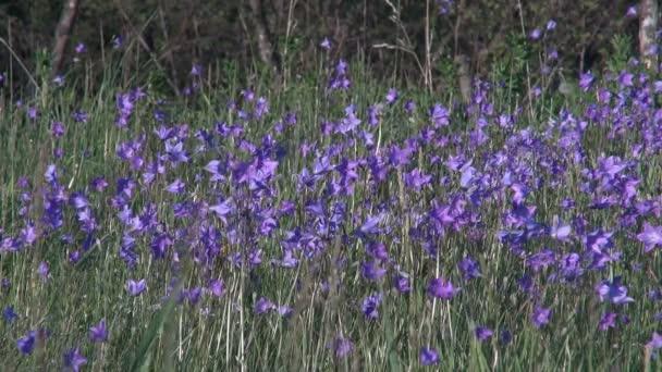 Květiny modré zvonky na divoké louce