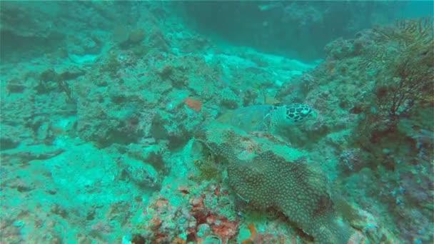 Sea Turtle Eats Coral, Underwater